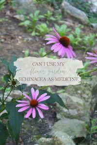 Can I Use My Flower Garden Echinacea For Medicine?   Growing Up Herbal   Ever wondered if the echinacea growing in your flower garden can be used medicinally?