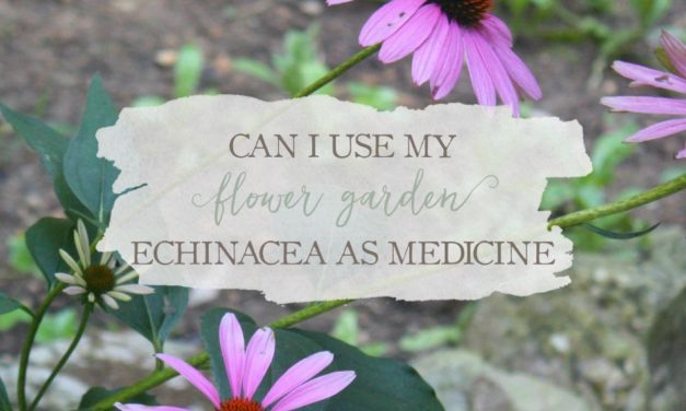 Can I Use My Flower Garden Echinacea For Medicine?