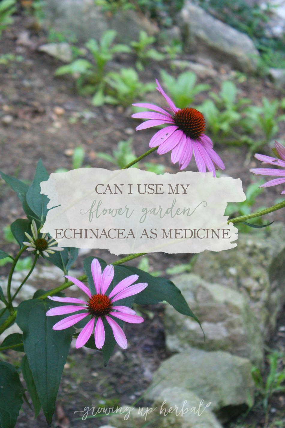 Can I Use My Flower Garden Echinacea For Medicine? | Growing Up Herbal | Ever wondered if the echinacea growing in your flower garden can be used medicinally?