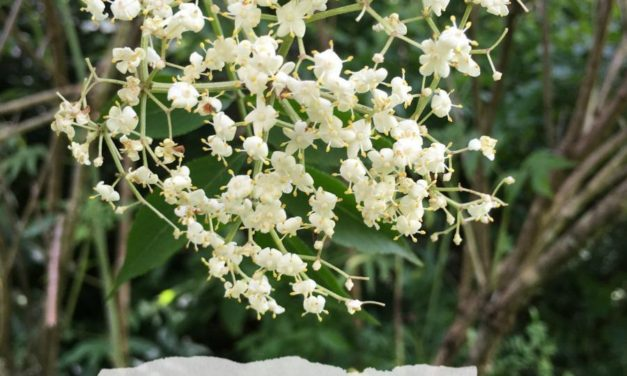 3 Ways To Use Elderflowers For Your Kids