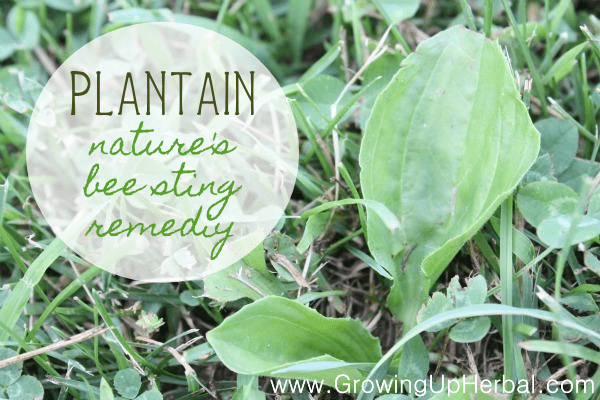 Stop The Pain And Swelling From Bee Stings Naturally With Plantain