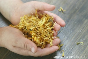 Learning Herbs: June Herb Challenge – Week 2 | GrowingUpHerbal.com | Herbal Actions & Energetics of Calendula, Calendula Tincture