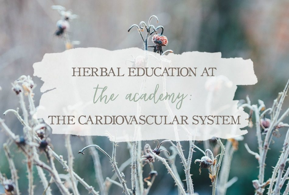 Herbal Education At The Academy: The Cardiovascular System