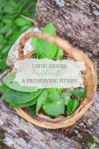 Wildcrafting & Preserving Herbs | GrowingUpHerbal.com | Learn how to forage and preserve your own herbs from the wild.