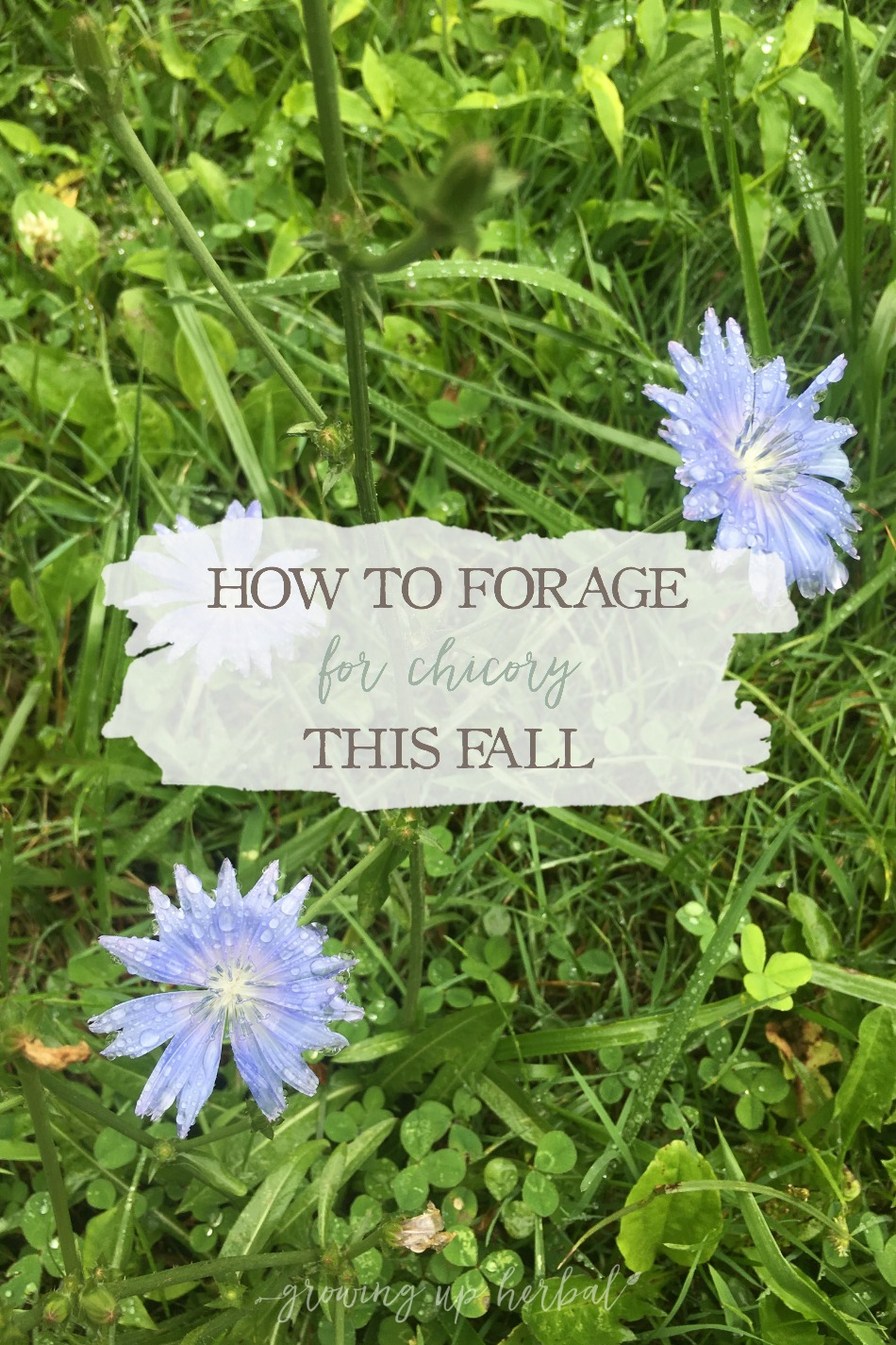 How To Forage For Chicory This Fall