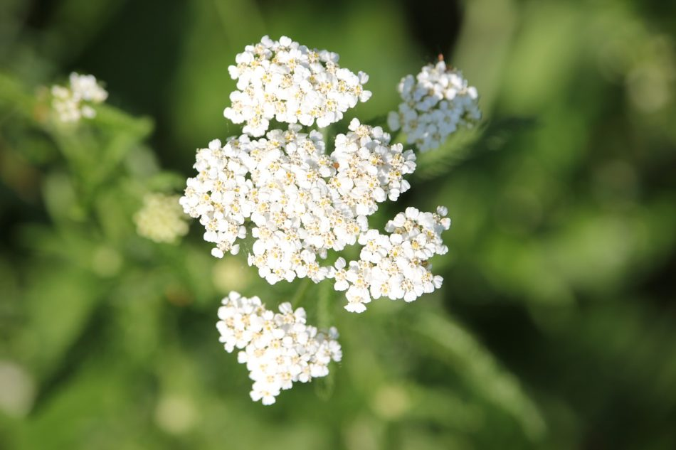 How To Make A Fresh Yarrow Tincture (Plus 5 Ways To Use It) | Growing Up Herbal | If you have yarrow growing nearby, here's how to make a fresh yarrow tincture that you can have on hand for future use. Also included are 5 ways to use it!