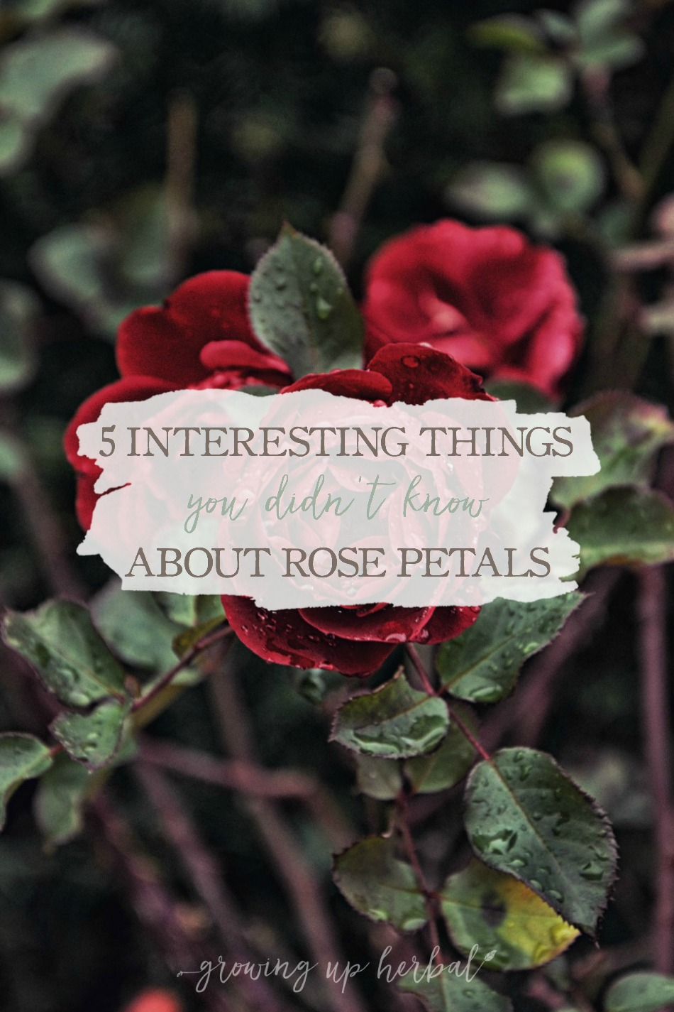 5 Interesting Things You Didn't Know About Rose Petals | Growing Up Herbal | Do you know these 5 interesting things about rose petals? Plus, some ways to use them in herbal remedies as well!