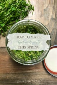 How To Make Chickweed Pesto This Spring | Growing Up Herbal | Chickweed is a spring herb that's easy to identify, harvest, and use. Here's a recipe for chickweed pesto that not only tastes great, but it's healthy for you as well.