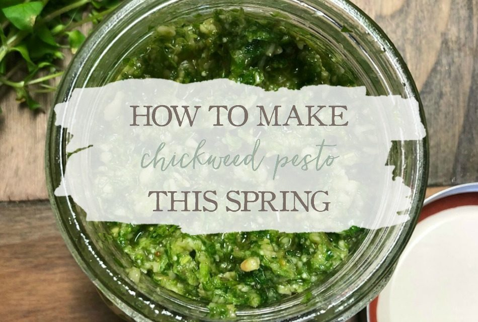 How To Make Chickweed Pesto This Spring