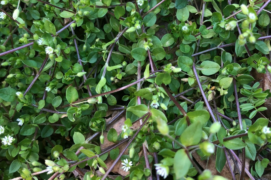How To Make Chickweed Pesto This Spring   Growing Up Herbal   Chickweed is a spring herb that's easy to identify, harvest, and use. Here's a recipe for chickweed pesto that not only tastes great, but it's healthy for you as well.