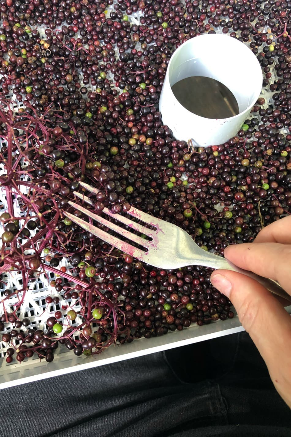 Harvesting & Preserving Elderberries | Growing Up Herbal | It's that time of the year! Elderberry harvesting season! I'm sharing a bit about harvesting and preserving elderberries for future use in this post.