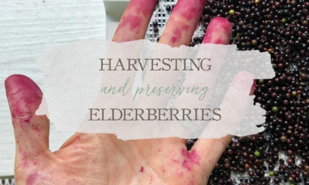 Harvesting & Preserving Elderberries