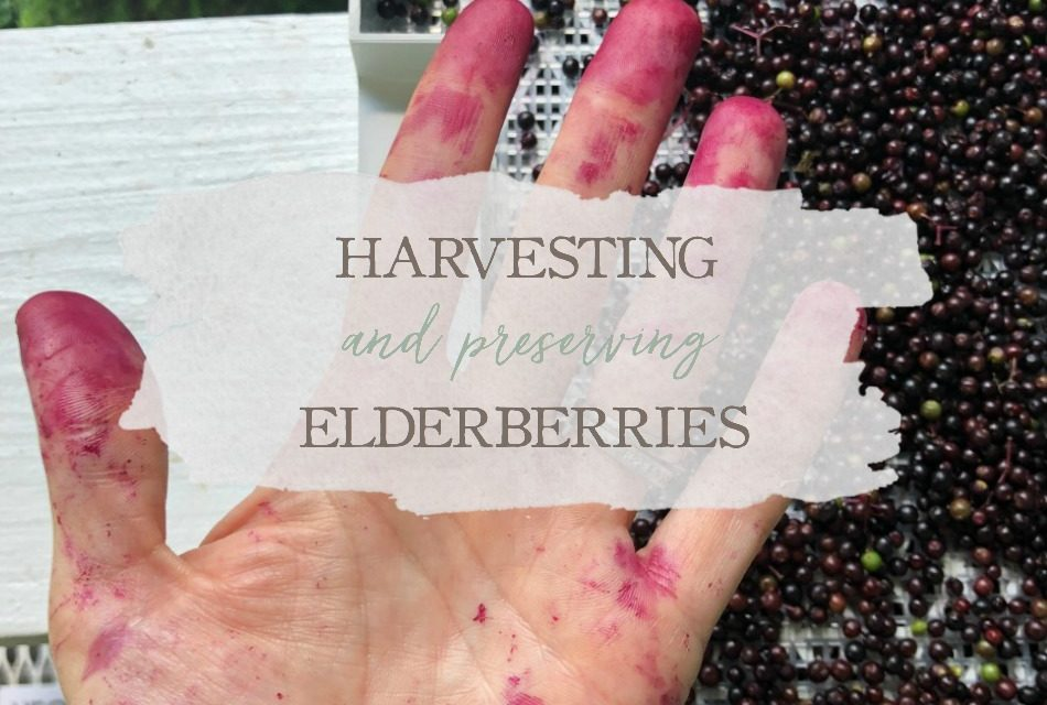 Harvesting & Preserving Elderberries