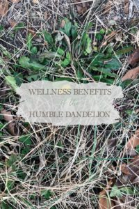 Wellness Benefits of the Humble Dandelion | Growing Up Herbal | All parts of dandelion are edible and nutritious. Come learn a bit about dandlion wellness benefits and how to incorporate it into your wellness routine!