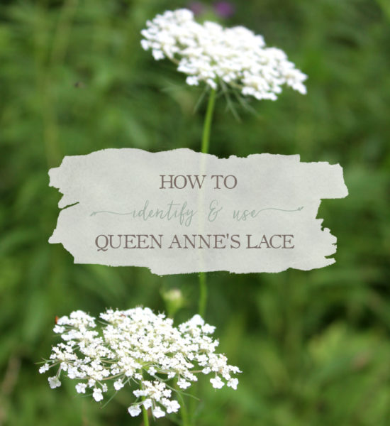 [YouTube] How To Identify And Use Queen Anne's Lace