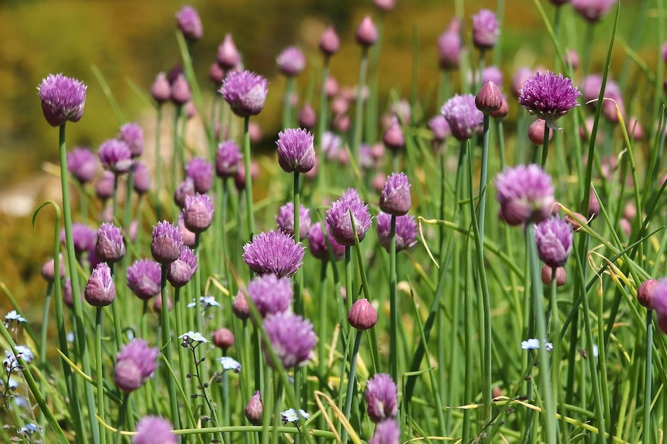 chives in a garden
