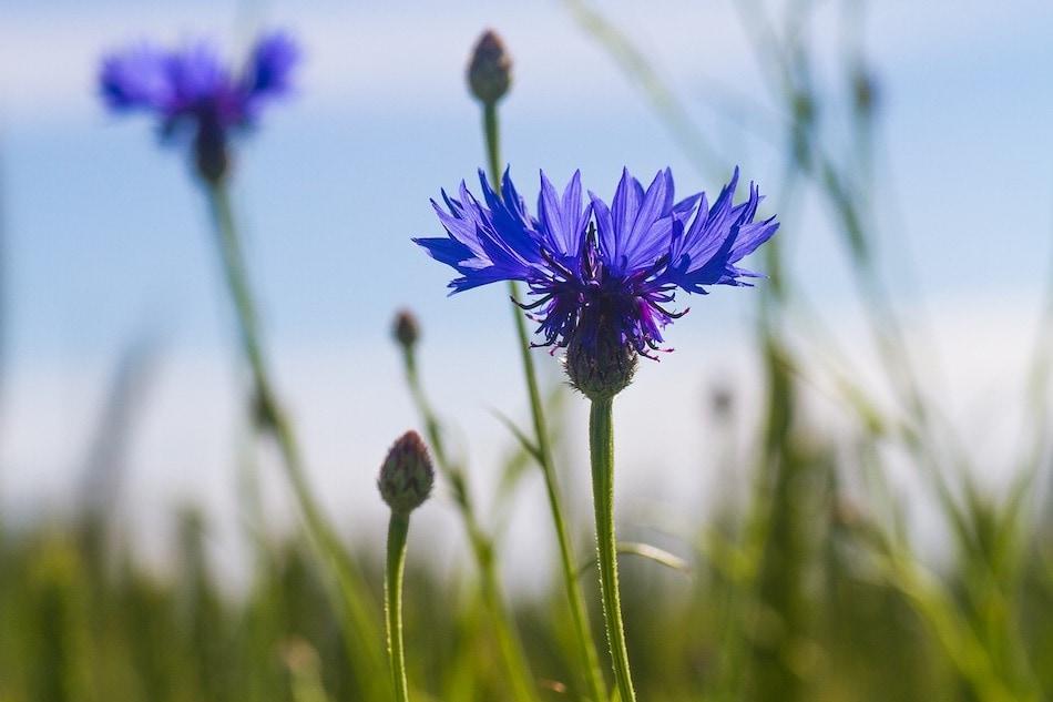 cornflower in a field